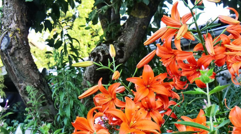 (c) Orange Lily by Miss Elli