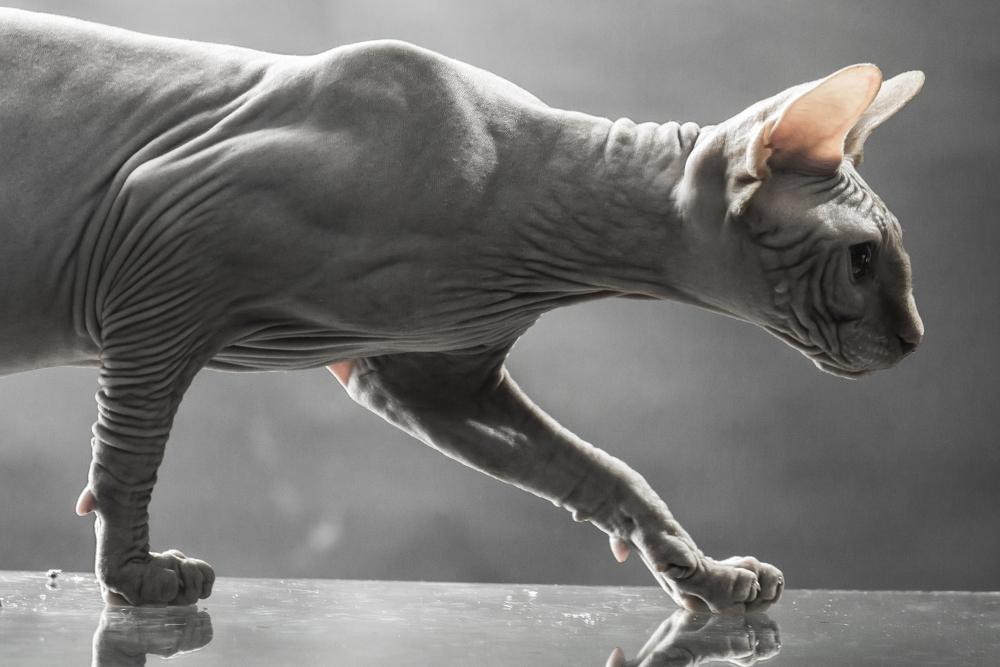 Sphinx_Canadian_Cat_by_Volodymyr_Tverdohlib_unter_Verwendung_Lizenz_Shutterstock_